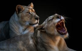 壁紙のプレビュー 2匹の雌ライオン、あくび