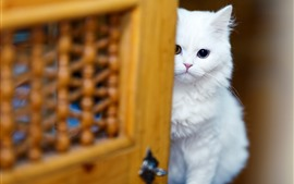 Preview wallpaper White cat look at you, shy