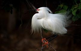 Aperçu fond d'écran Plume blanche oiseau héron