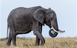 Preview wallpaper Wildlife, elephant, ears, tusks, grass