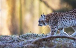 Vorschau des Hintergrundbilder Wild lebende Tiere, gehender Luchs, dunstiger Hintergrund