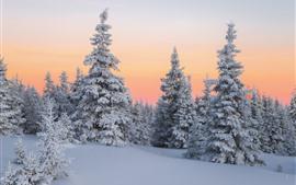壁紙のプレビュー 冬、雪、モミの木、夕暮れ