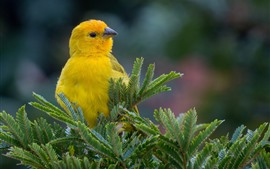 Pássaro amarelo, galhos
