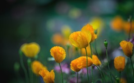 Preview wallpaper Yellow poppies, flowers