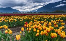 壁紙のプレビュー 黄色、赤、紫のチューリップ、花畑、山、雲