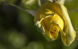 Preview wallpaper Yellow rose, petals, hazy