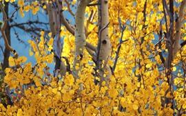 Birch, yellow leaves, autumn, trees