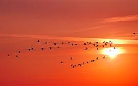 Aves, céu, pôr do sol, voo