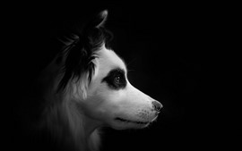 Cachorro, rosto, vista lateral, fundo preto