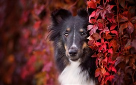 Preview wallpaper Dog, red leaves, hazy, autumn