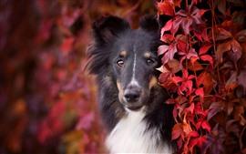 Aperçu fond d'écran Chien, feuilles rouges, brumeux, automne