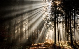 Forest, sun rays, trees, morning, nature