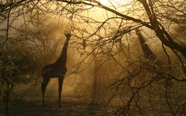 Preview wallpaper Giraffes, trees, fog, morning, hazy