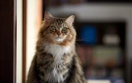 Серый кот, взгляд, зеленые глаза, интерьер