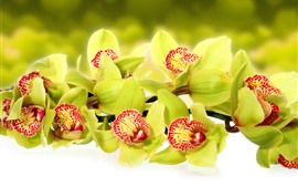 Preview wallpaper Green orchid, flowers close-up
