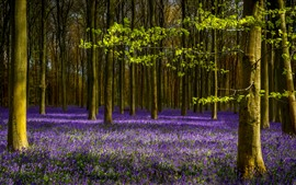 Preview wallpaper Lavender, purple flowers, trees, spring