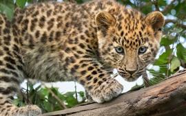 Filhote de leopardo, olha