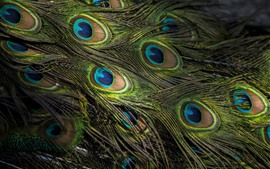Preview wallpaper Peacock feather close-up, texture