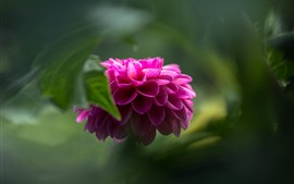 Pink dahlia, green hazy background