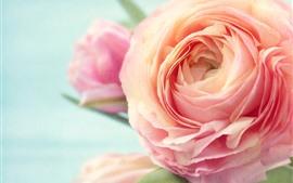 Aperçu fond d'écran Pivoine rose, gros plan, pétales