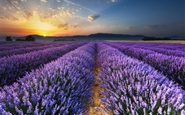 Preview wallpaper Purple lavender flowers field, sunrise, glare, morning