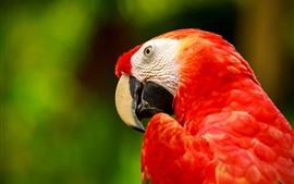 Arara de penas vermelhas, papagaio, bico, cabeça