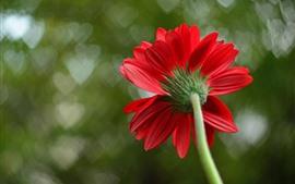 Vista traseira de flor vermelha, pétalas, coração de amor