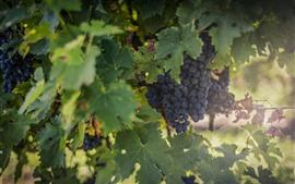 Спелый виноград, зеленая листва, дымка