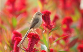 Preview wallpaper Sparrow, red flowers