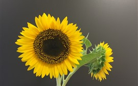 Preview wallpaper Sunflowers, gray background