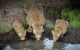 Preview wallpaper Three cheetahs drink water