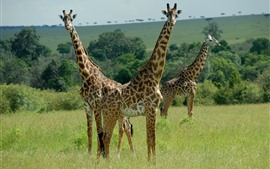 Preview wallpaper Three giraffes, Africa