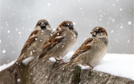 Preview wallpaper Three sparrows, snow, winter