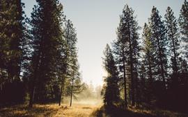 Деревья, солнечные лучи, туман, утро