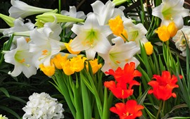 Tulips and lilies, white, yellow and red flowers