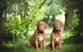 Two brown dogs, look, grass