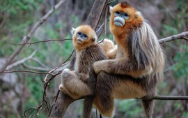 Preview wallpaper Two golden monkeys, tree