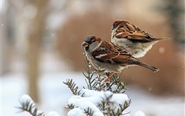 Preview wallpaper Two sparrows, snow, winter