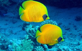 Preview wallpaper Two yellow fish, underwater, clownfish