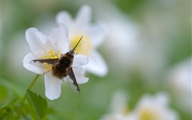 Flor blanca, abeja, insecto
