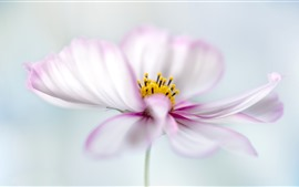 Pétalos de rosa blanco kosmeya flores