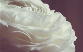 White rose close-up, petals, pink background