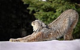 Aperçu fond d'écran Chat sauvage, lynx, étirement