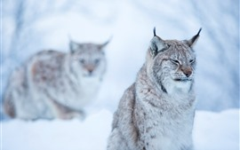 Preview wallpaper Wildcat, lynx, winter, bokeh