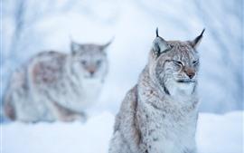 Aperçu fond d'écran Chat sauvage, lynx, hiver, bokeh