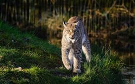 Vida selvagem, lince a pé, grama