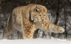 Wildlife, paw, lynx, snow