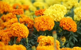 Preview wallpaper Beautiful yellow marigold flowers