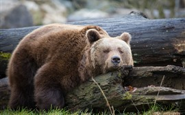 Preview wallpaper Brown bear sleep