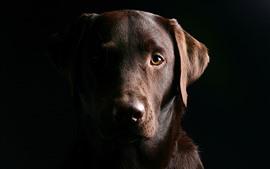 Cachorro marrom, rosto, fundo preto